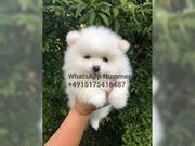 Pomeranian welpen super mini dhdh