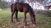 Bosnisches Gebirgspferd - Hengstfohlen