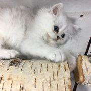 BLH Kitten mit Stammbaum Silver