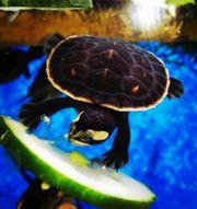 Wasserschildkröten Babys Emydura Subglobosa