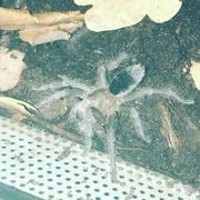 Grammostola pulchra Vogelspinne