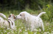 Pyrenäenberghund x Maremmano Welpen