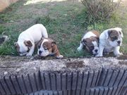 Vier Englische Bulldog Hündin Welpen