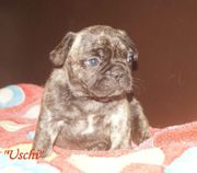Französische Bulldoggen Welpen Hündin Uschi