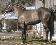 Grullo Quarter Horse Hengst General