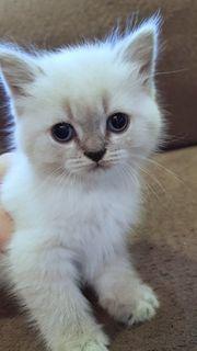 Süße blauäugige BKH Blue-Point Kitten