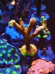 Meerwasser Korallen Gorgonien Pilzleder Fingerleder