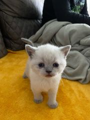 BKH chorisch Kätzchen Mädchen