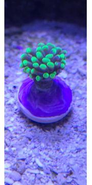 Korallen diverse