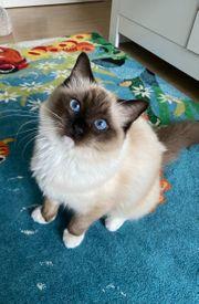 Ragdoll Katze 8 Monate in