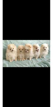 Pomeranian zwergspitz 10 wochen alt