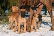 Deutsche Doggen Welpen in gelb
