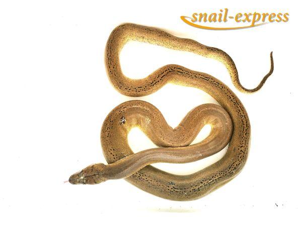 Malayopython reticulatus - Netzpython Golden Child
