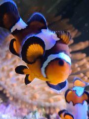 Snowflake Clownfischpaar Anemone