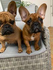 Französische Bulldogge sucht ein Liebevolles