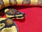 Schöne Enchi Yellowbelly Blaze von