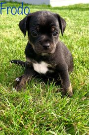 Therapiehundelinie- Zwergpinscher Chihuahua Mix Welpen