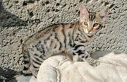 Maine Coon Bengal Kitten