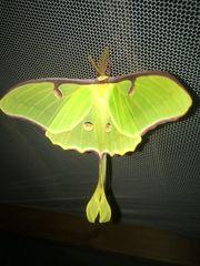 Schmetterling Actias luna