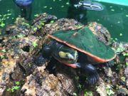 2 Rotbauch Spitzkopf Schildkröten abzugeben