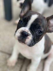 Französische Bulldogge welpe Hündin