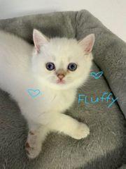 BKH Kitten nur eine Fluffy
