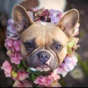 Französische Bulldogge Hündin aus Zucht