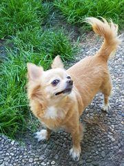 Sina Zoe - zwei Chihuahua-Schnuckerl suchen