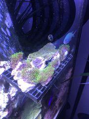 Verkaufe Korallen Ableger 5-10