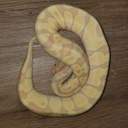 Königspython 1 0 Banana Enchi