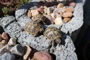 2 Griechische Landschildkröten THB NZ