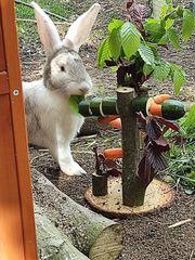 Riesen Schecken Mix Kaninchen