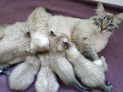 Snow Bengal Ragdoll Edelmix Kitten