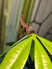 Phyllocrania paradoxa Geistermantis Mantide Babys