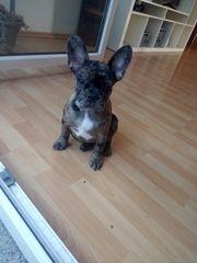 Merle Bulldogge
