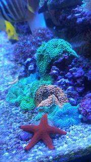 Ricordea florida - Meerwasser Korallen