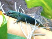 Lygodactylus williamsi Himmelblauer Zwergtaggecko 1