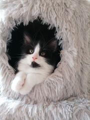 norwegische Waldkatze XXL-Maine Coon - Kitten -