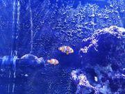 2 Clownfische