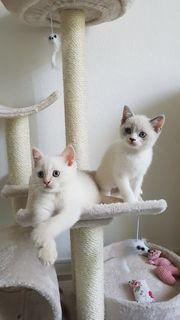 BKH Traum Kitten