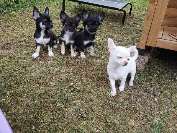 Chihuahua Welpen mit VDH Papieren