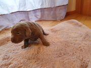 Labrador Welpen mit Ahnentafel EU-Heimtierausweis