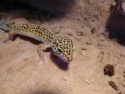 Leopardgecko 0 1 adult Mack