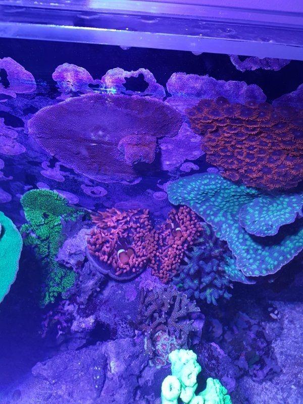 Beckenauflösung Meerwasser Korallen Kupferanemone Fische