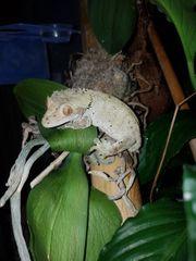 Freundlicher Kronengecko sucht neues Zuhause