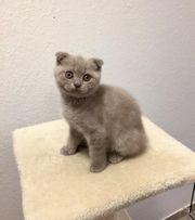 Scottisch fold kitten - Schottische faltohr