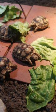 breitrandschildkröten NZ 2020