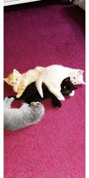 BKH Kitten in seltener Farbe
