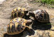 Griechische u Vierzehenlandschildkröten aus liebevoller