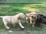 Labrador Welpen in braun und